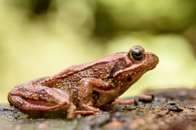 Europäischer gemeiner frosch, rana temporaria.