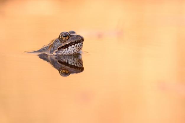 Europäischer gemeiner frosch
