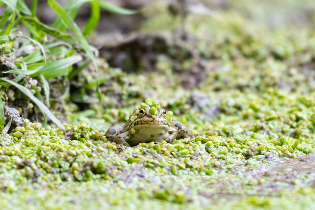 Europäischer grüner frosch pelophylax ridibundus. verstecken in der lemna.
