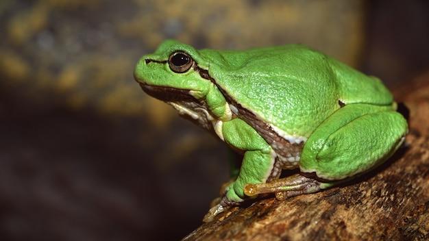Europäischer grüner laubfrosch (hyla arborea früher rana arborea)
