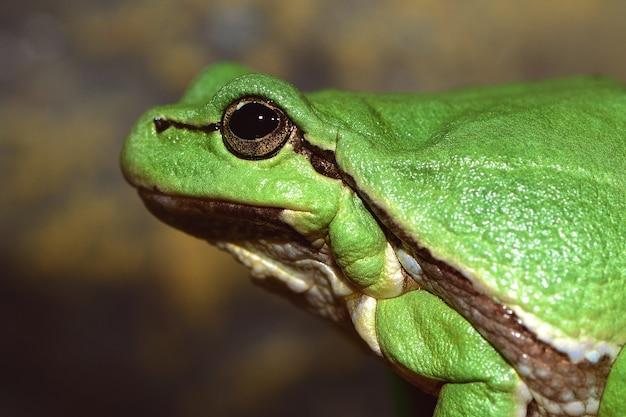 Europäischer grüner laubfrosch (hyla arborea früher rana arborea).