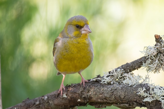 Europäischer grünfink zuchtjahr chloris. grünfink im lebensraum.