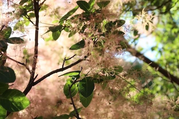 Europäischer rauchbaum. skumpiya bräunen, cotinus coggygria, rhus cotinus, rauch busch.