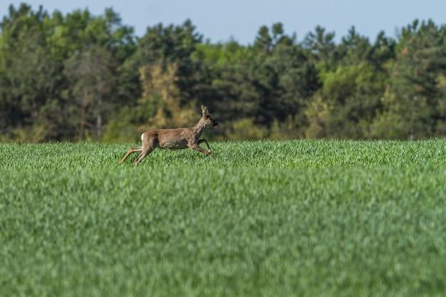 Europäischer rehbock im frühling auf dem getreidefeld mit frühlingsmantel