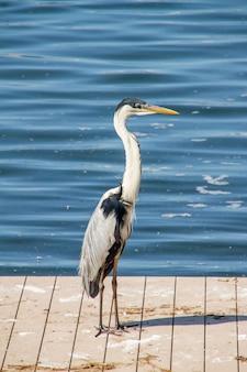 Europäischer reiher, der auf einem deck an der lagune von rodrigo de freitas in rio de janeiro brasilien steht.