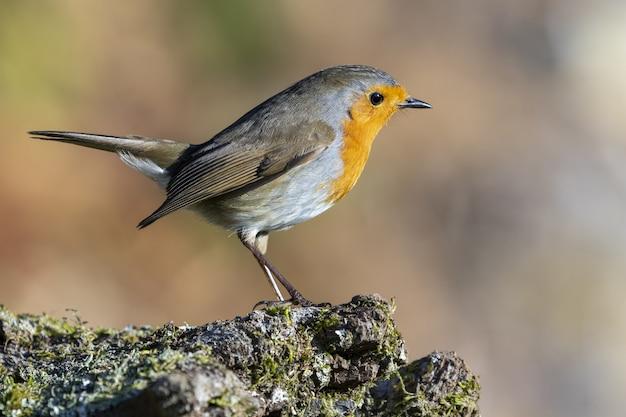Europäischer robin sitzt auf einem moosbedeckten felsen