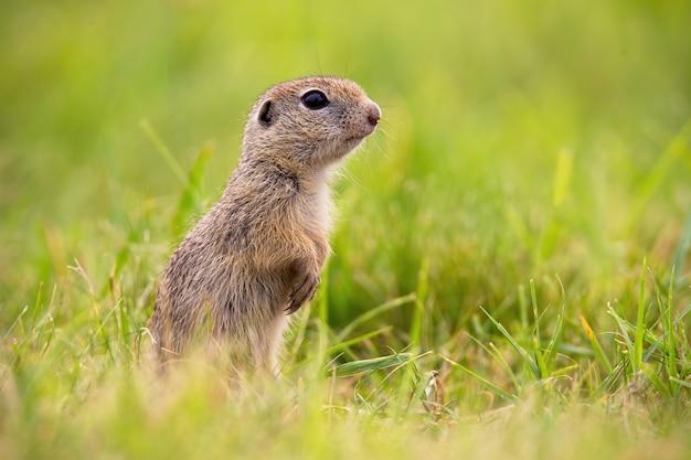 Europäisches grundeichhörnchen, das im sommer auf feld steht.