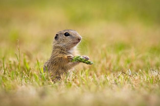 Europäisches grundeichhörnchen, das korn in der hand auf feld hält
