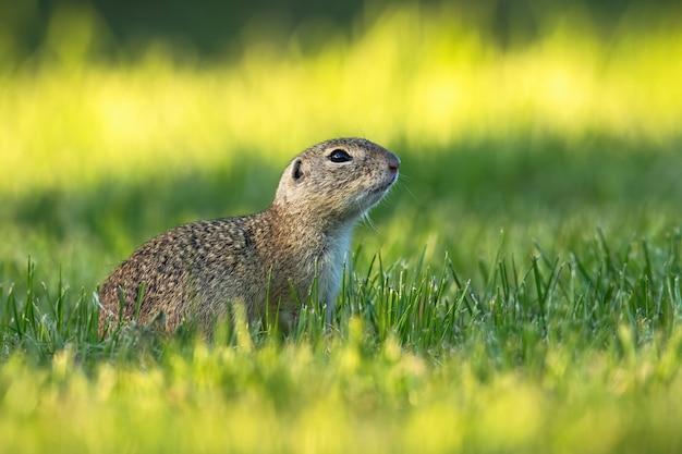 Europäisches grundeichhörnchen mit hochgehaltenem kopf, der am frühen morgen herumschaut