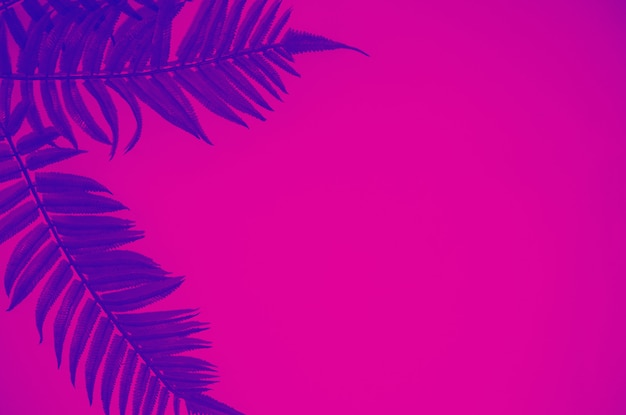 Exotische blätter des blauen farns gegen rosa hintergrund, modisches neontonen