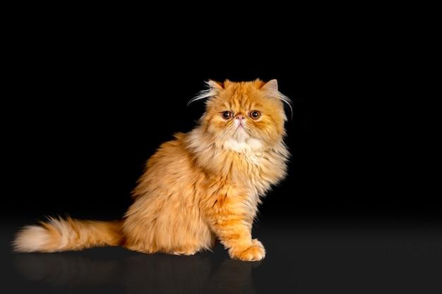 Exotische katze mit kurzen haaren, die dunklen hintergrund aufwirft