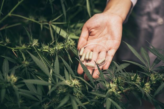 Experimente zur herstellung von marihuana für medizinische zwecke, hanfkraut