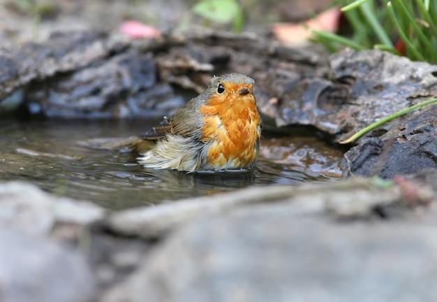 Extra nahaufnahme porträt eines feuchten rotkehlchens (erithacus rubecula) steht in einem wasser