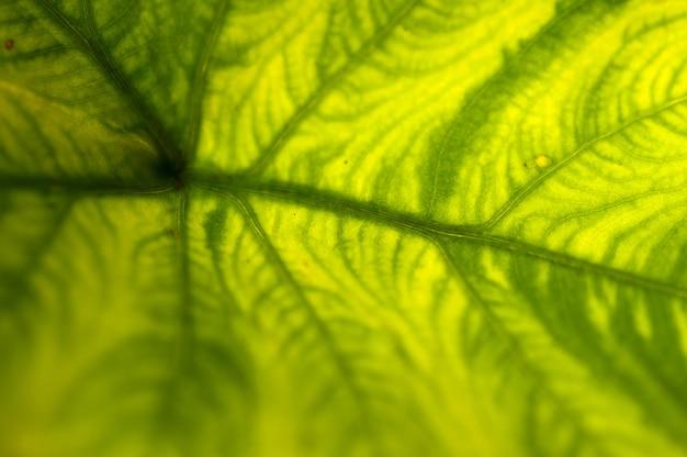 Extreme nahaufnahme des frischen grünen blattes als hintergrund.
