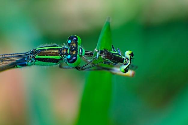 Extremes makroschussauge der zygoptera-libelle, die libelle in wildem isst