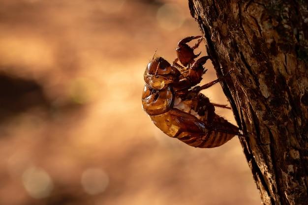 Exuvia der typischen zikade, ein exoskelett, das während des reifungsprozesses des insekts namens ecdysis aufgegeben wird
