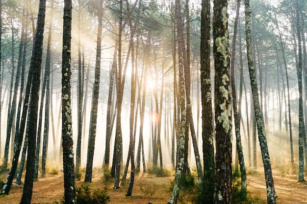 Fabelhafter europäischer wald. malerischer sonnenaufgang in portugal. märchenhafte aussicht. herrliche sonnenstrahlen in kiefern.
