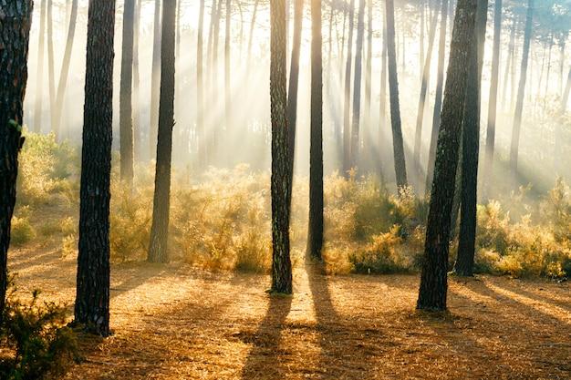 Fabelhaftes sonnenlicht im wald. malerischer natursonnenaufgang. märchenhafte aussicht. herrliche sonnenstrahlen in kiefern. schöne saisonale landschaft. dramatische szenische ansicht am laub