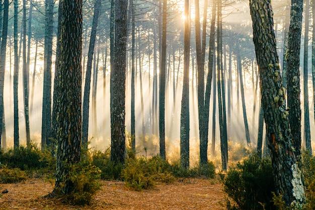 Fabelhaftes sonnenlicht im wald. malerischer natursonnenaufgang. märchenhafte aussicht. herrliche sonnenstrahlen in kiefern. schöne saisonale landschaft.