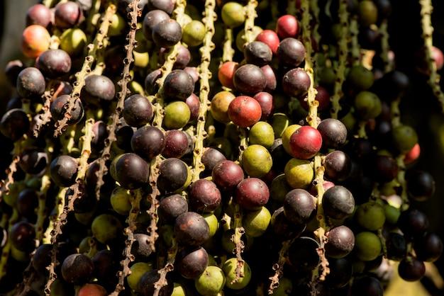 Fächerpalme oder corypha umbraculifera früchte auf naturhintergrund.