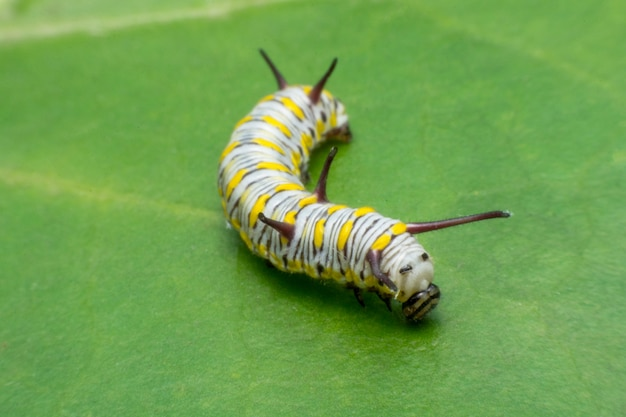 Fälliger monarch caterpillar auf grünem blatt