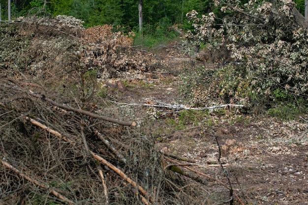 Fällte kiefern im wald. abholzung und illegale abholzung