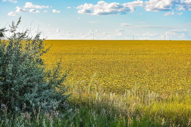 Färberdistelfeld, viele färberdistel, feld mit gelben stacheligen blumen, carthamus tinctoriu