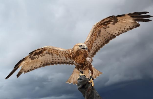 Falke hat flügel ausgebreitet.