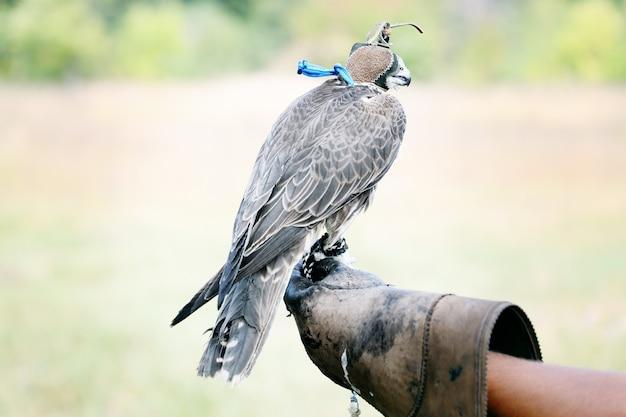 Falke trägt seine kapuze. falke sitzt auf lederhandschuh