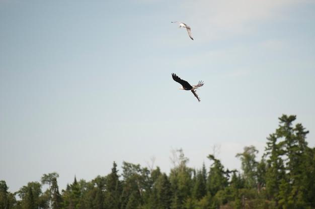 Falkenfliegen mit einem fisch in seinen greifern über see des holzes, ontario
