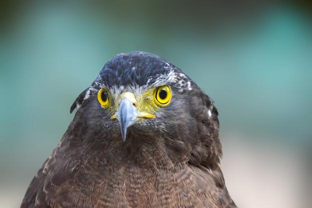 Falkenporträt
