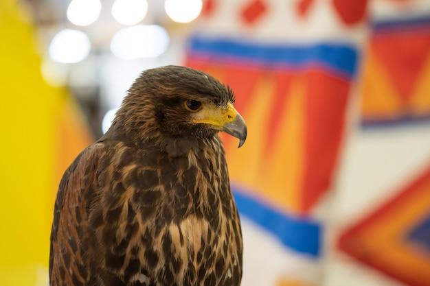 Falknerei. harris hawk (parabuteo unicinctus) porträt eines schönen harris hawk.