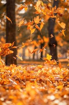 Fallende trockene gelbe ahornblätter auf einem herbst