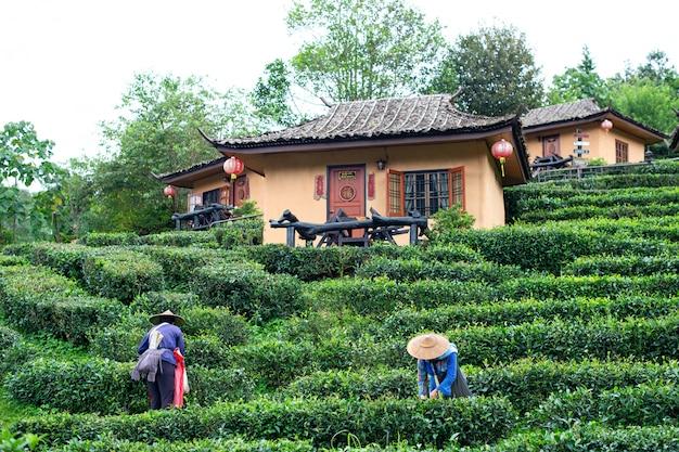 Famer halten tee in der teeplantage mae hong son
