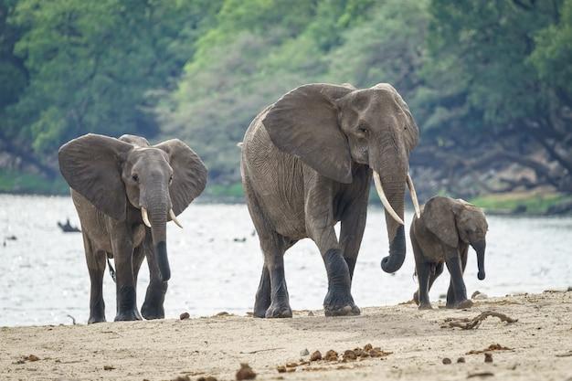 Familie der afrikanischen elefanten, die nahe dem fluss mit einem wald im hintergrund gehen