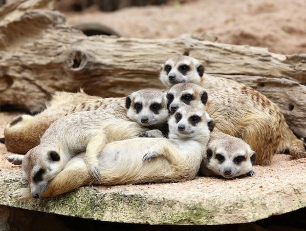 Familie der erdmännchen