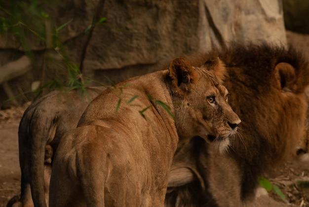 Familie der löwen, die in einem zoo stillstehen