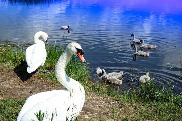 Familie der wilden schwäne auf dem see. starker stolzer vogel. natürliche tierwelt.