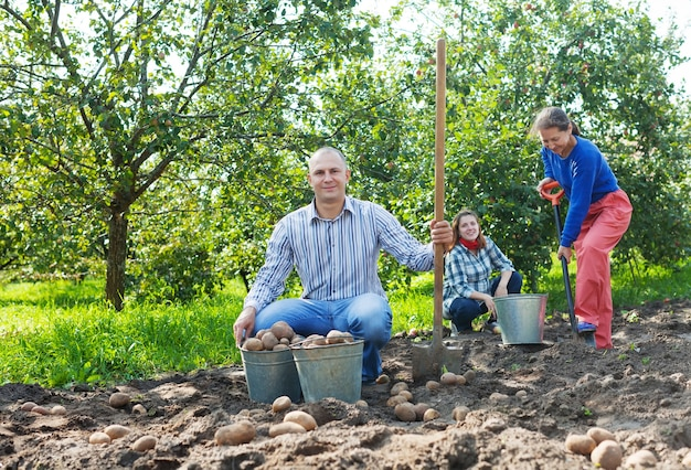 Familie, die kartoffeln im garten erntet