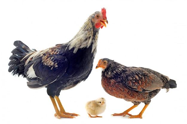 Familie von hühnern