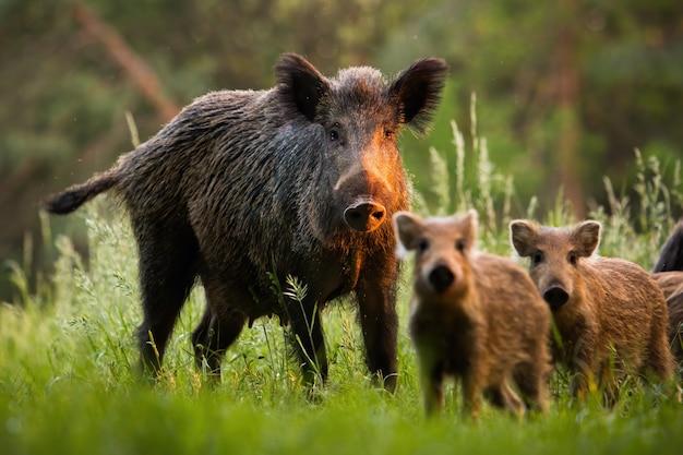 Familie von wildschweinen mit jungen ferkeln auf sommerwiese bei sonnenuntergang