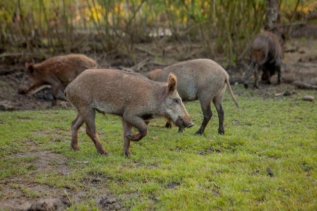 Familien-gruppe warzenschweine, die gras-lebensmittel zusammen essen weiden lassen.