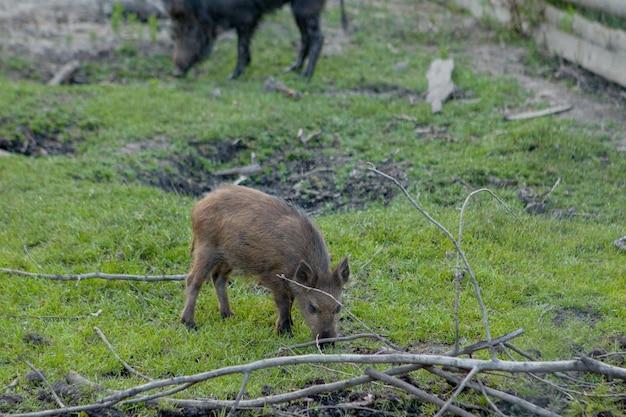 Familiengruppe warzenschweine, die gras-lebensmittel zusammen essen weiden lassen.
