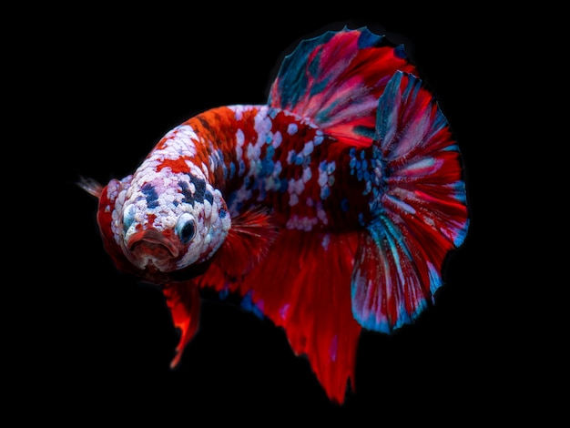 Fantastische koi-galaxie betta fische.