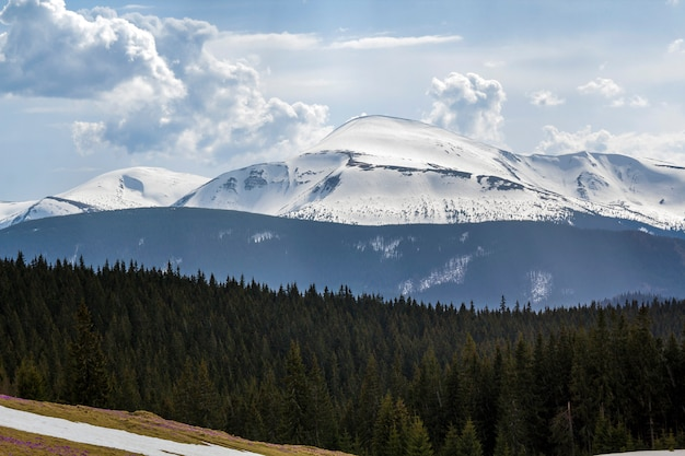 Fantastischer blick auf berg hoverla in den karpaten an hellem sonnigem frühlingstag. scharfer kontrast zwischen dunklem kiefernwald und hellem, glänzendem schnee auf den gipfeln. schönheit und kraft des naturkonzepts.