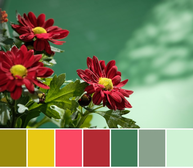 Farbabstimmungspalette aus roten chrysanthemenblüten