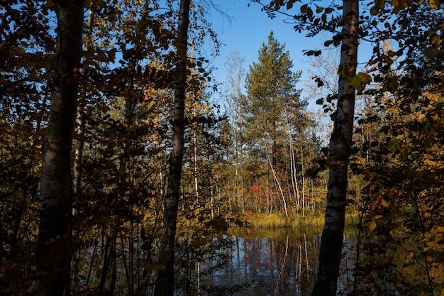 Farbenfroher frühherbst im kiefernwald mit dem see in nordwestrussland.