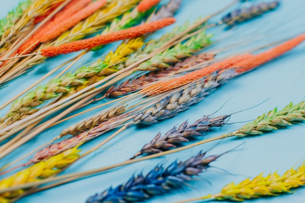 Farbige ährchen von weizen und roggen auf einem blauen holz. mehrfarbige getrocknete blumen