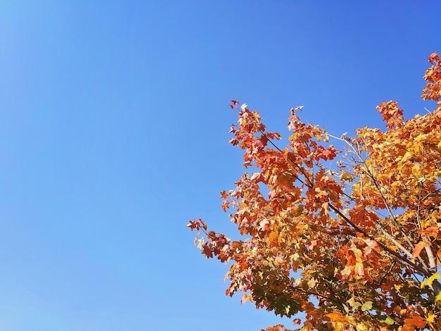 Farbige blätter eines baumes im herbst vor einem blauen himmel