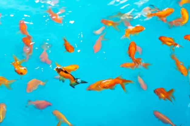 Farbiger tropischer fisch in einem dekorativen teich. orange dekorativer fisch auf einem blauen hintergrund. herde von zierfischen